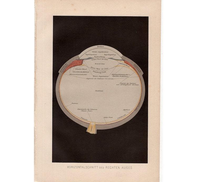 1887 antike Auge Druck Augapfel Anatomie original antiken