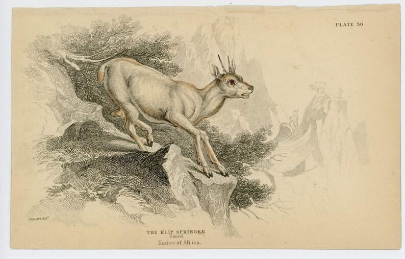1836 klip springer original antique animal engraved print native of africa