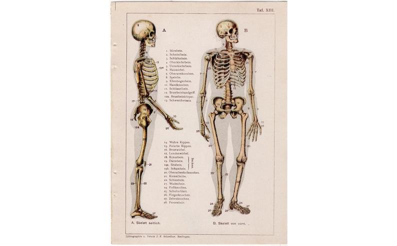 c. 1910 HUMAN SKELETON print  original antique anatomy print image 0