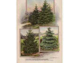 1911 TREES original antique botanical forest print - spruce & arbor vitae