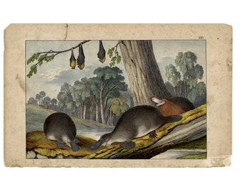 c. 1878 DUCKBILL PLATYPUS print • original antique print  • Australian animal • Monotreme • endangered species • with bats
