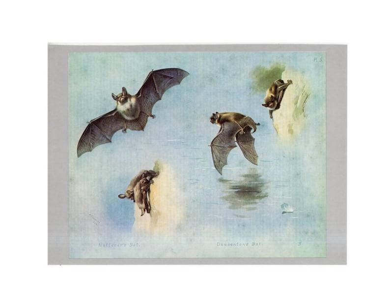 c. 1970's NATTERER'S & DAUBENTON'S BATS print  image 0