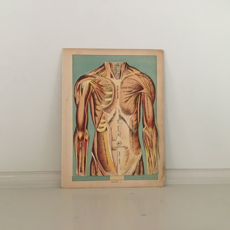 C 1920 Human Anatomy Print Interactive Medical Lithograph Etsy