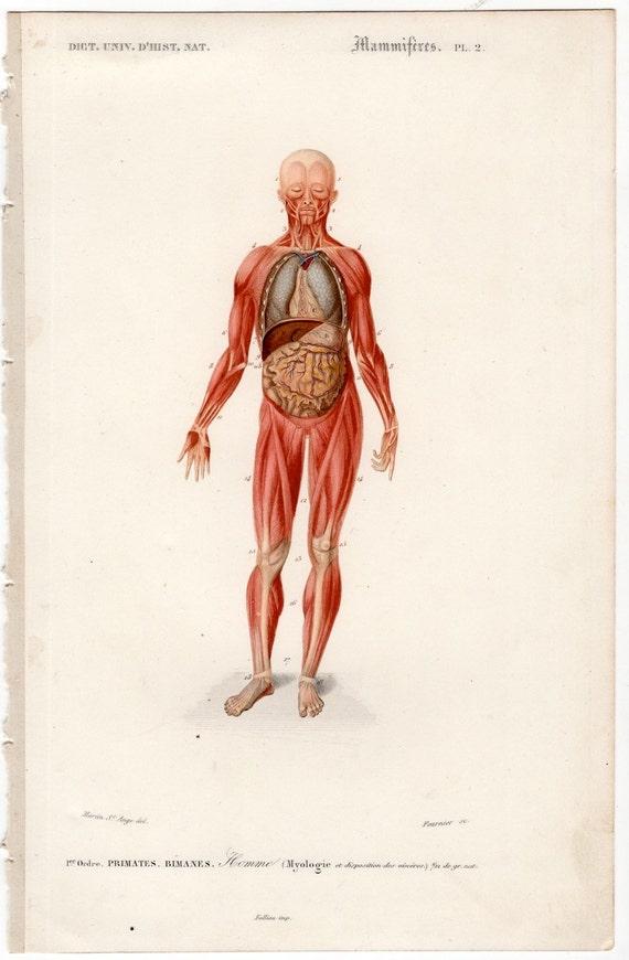 1861 menschlichen Muskeln Druck original antiken Anatomie | Etsy
