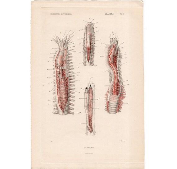 1836 RINGELWÜRMERN Wurm Anatomie KUPFERSTICH original Antik | Etsy