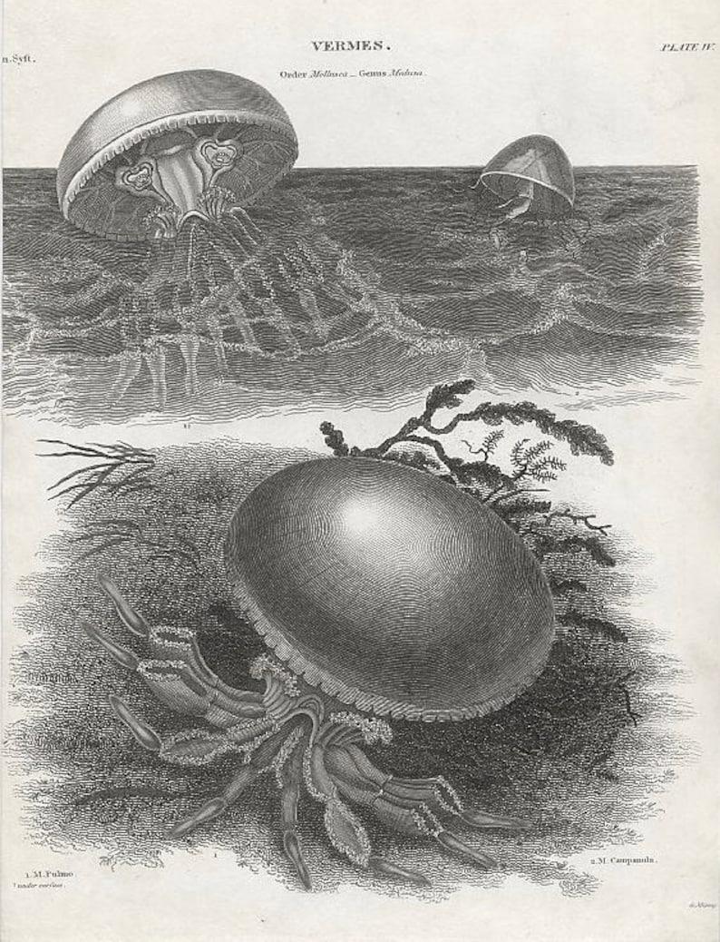 in frame /& ready to hang! sea life ocean marine animal medusa jelies 1820 JELLYFISH ANTIQUE ENGRAVING c original antique print