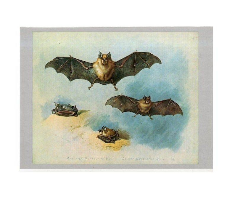 c. 1970's HORSESHOE BATS print  original vintage bat image 0