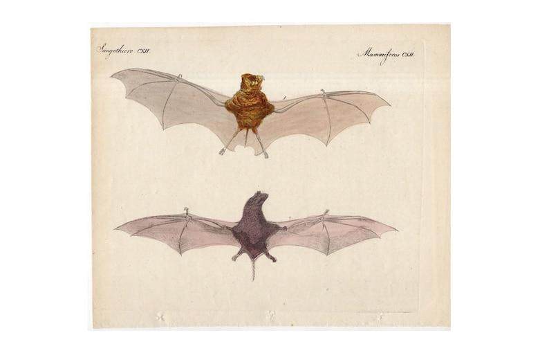 C. 1795 ANTIQUE BAT ENGRAVING original antique bat print | Etsy