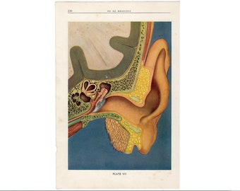 c 1940 EAR print • original vintage print • human anatomy • medical illustration • hearing print • ear anatomy •