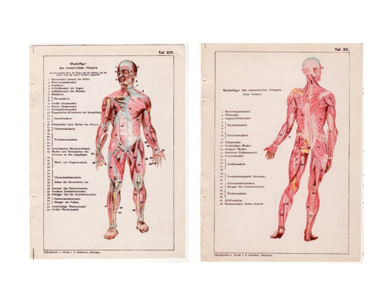 c. 1910 HUMAN MUSCLES printS  set of 2 antique anatomy prints image 0