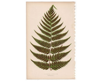 1862 FERN LEAF PLANT print original antique botanical lithograph - diplazium ambiguum
