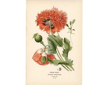 c. 1896 OPIUM POPPY print • original antique print • botanical print • flower print • breadseed poppy • by Edward Step • Papaver somniferum