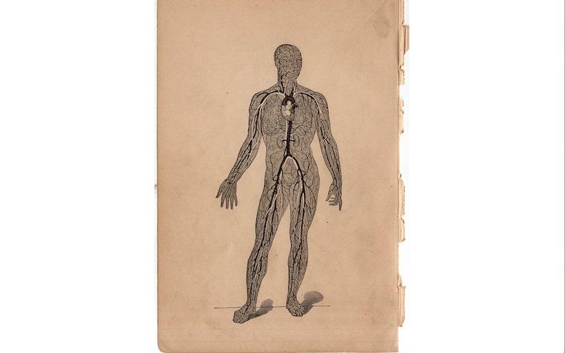 c. 1884 CIRCULATION SYSTEM lithograph  antique human anatomy image 0