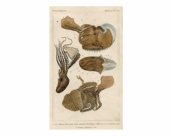 c. 1837 OCTOPUS print • original antique print • sea life print • ocean print •