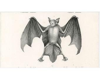 C. 1824 BATS print • original antique print • chiroptera print • pipestrello • bat print • vampire print • chauve souris • roussette