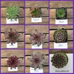 Sempervivum, Choose your Succulent Hens and chicks #FH3/ Winter Hardy Plants / Rock Garden Plants / Succulent Favors