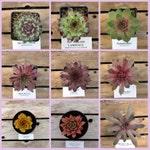 Sempervivum, Choose your Winter Hardy Hens and Chick Succulent, #SW6/ Winter Hardy Plants / Rock Garden Plants / Succulent Favors