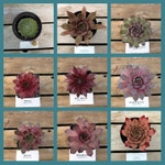 Sempervivum, Choose your Succulent, Winter Hardy Hens and chicks, #OS5/ Winter Hardy Plants / Rock Garden Plants / Succulent Favors
