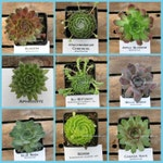 Sempervivum, CHOOSE YOUR Winter Hardy Succulent, Hens and Chicks/ Winter Hardy Plants / Rock Garden Plants / Succulent Favors