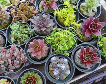 16 Extreme Winter Hardy Succulent Plants Collection, 3 inch pots, Terrariums, Tablescapes, old boots, dish gardens
