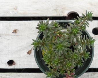 Sedum lydium Potted Plant