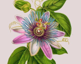 passiflora passion flower antique french botanical illustration digital download