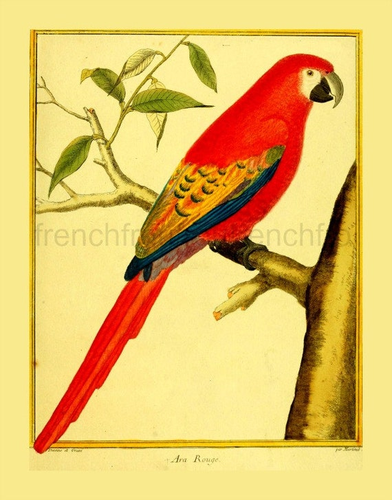 IllustrationEtsy Ara Antique Tropical Red Bird French Macaw IE9WD2H