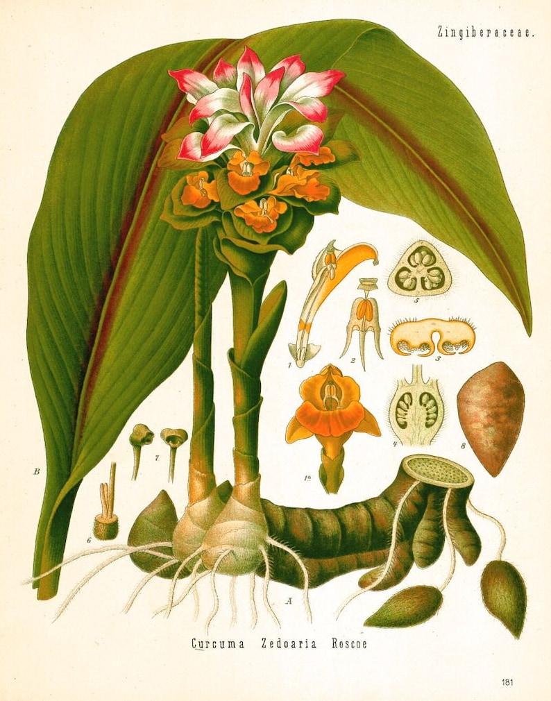 antique botanical print curcuma turmeric illustration digital image 0