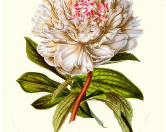 antique french victorian botanical print white peony illustration digital download