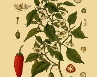 antique botanical print chili peppers illustration digital download