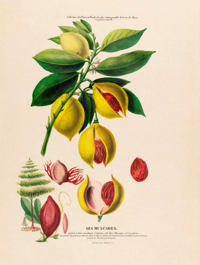 antique french botanical print noix de muscades nutmeg image 0