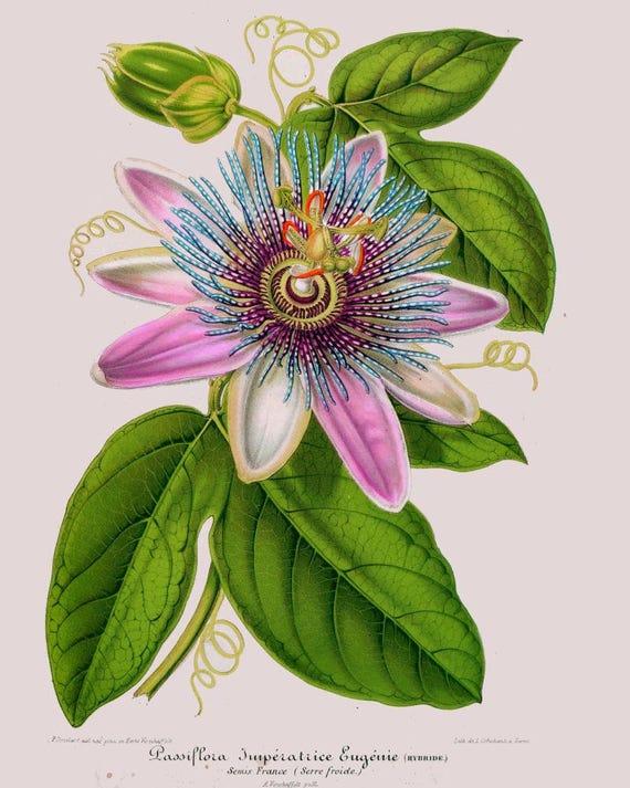 Antiquité de fleur de passion Passiflora français | Etsy