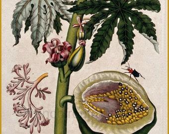 antique botanical print papaya tree and fruit botanical illustration DIGITAL DOWNLOAD