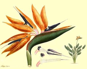 antique french botanical print bird of paradise illustration digital download