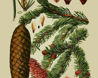 antique botanical print evergreen tree norway spruce illustration digital download