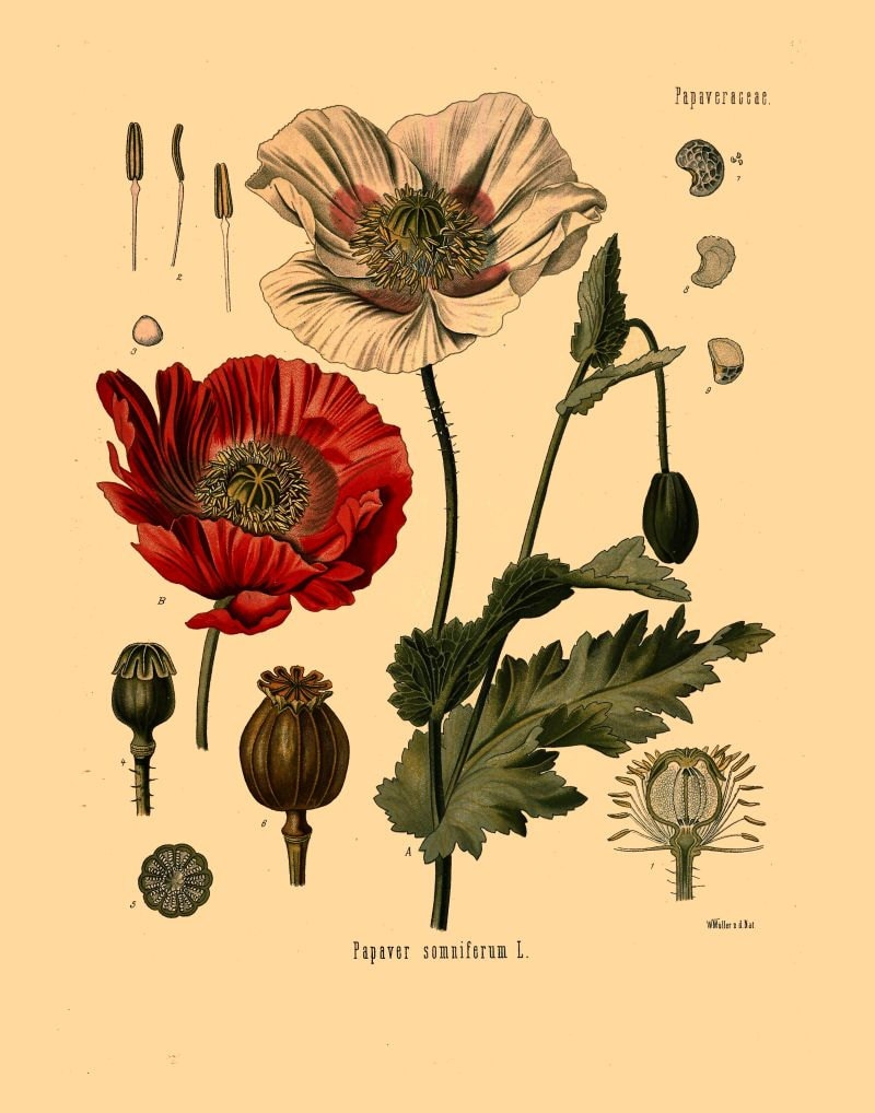 Antique Botanical Print Opium Poppy Flowers And Seeds Etsy