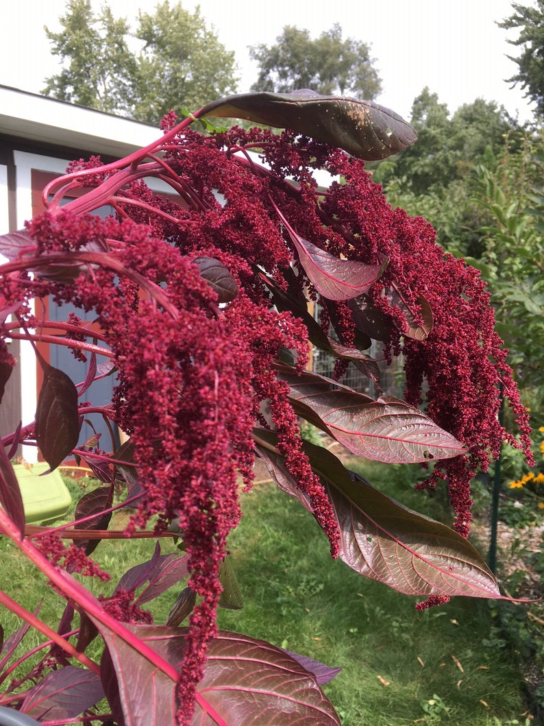 Hopi Red Dye Amaranth Seeds Amaranthus Plant for dyeing image 0
