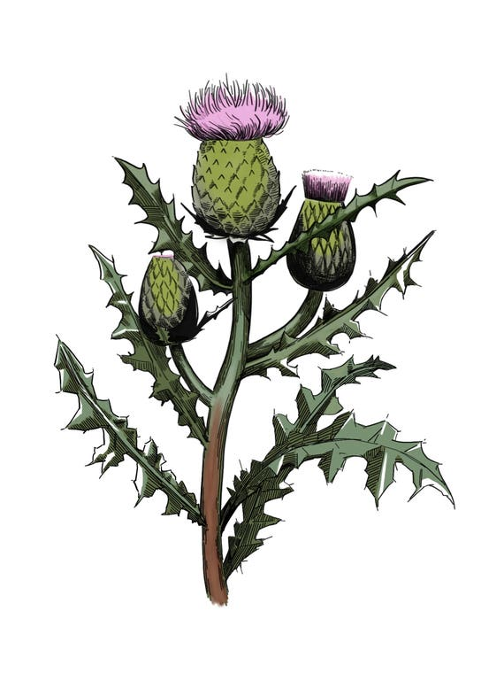 Scottish Thistle Post Card for Snail Mail The Prickly Weed | Etsy