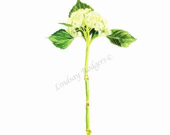 Hydrangea print, art print, flower print