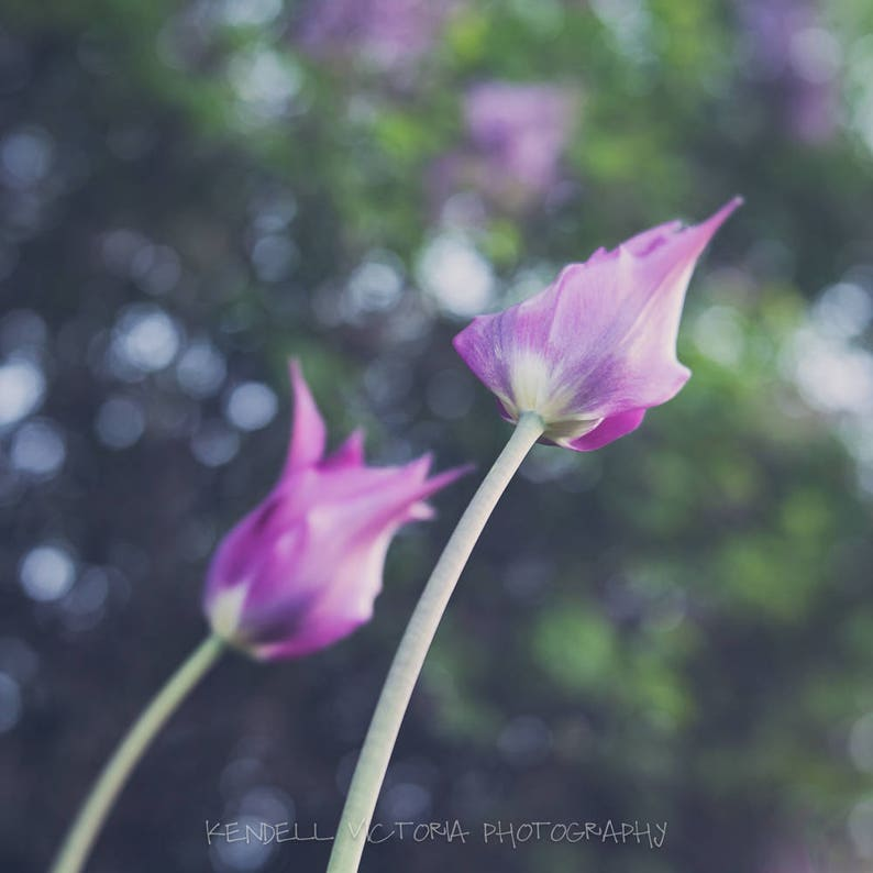 Purple tulips soft focus photography Wall Art Home Decor image 0