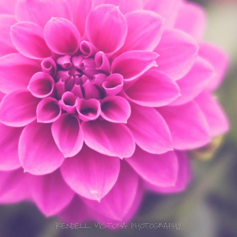 Spring Pink Dahlia Flower Fine Art Photograph Wall Art Home image 0