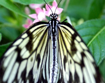 Black Spotted White Butterfly