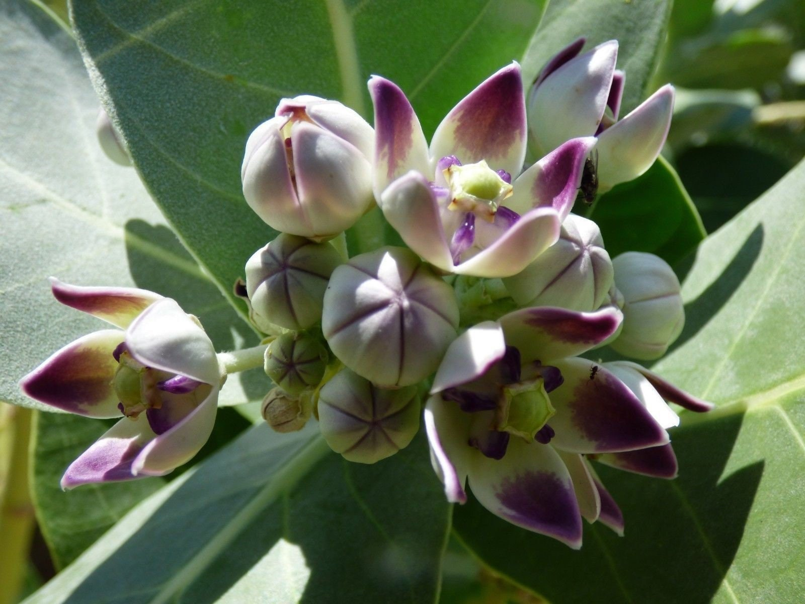 aka Crown Flower Monarch Butterfly Milkweed 50+ Calotropis Procera Seeds