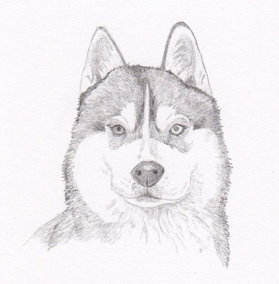 siberian husky signed personalized original pencil drawing etsy