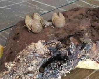 Stuck Cicadas on Shelf Fungus, Natural Find, Frightening Insects, Very Weird, Disturbing, Stuck in Matrix, Creepy Surprise