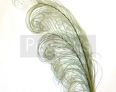 SAGE Green peacock feather plume (6-8 quot )P2(3 package option) hats, fascinators, headdresses, headbands and floral arrangements,mardi gras