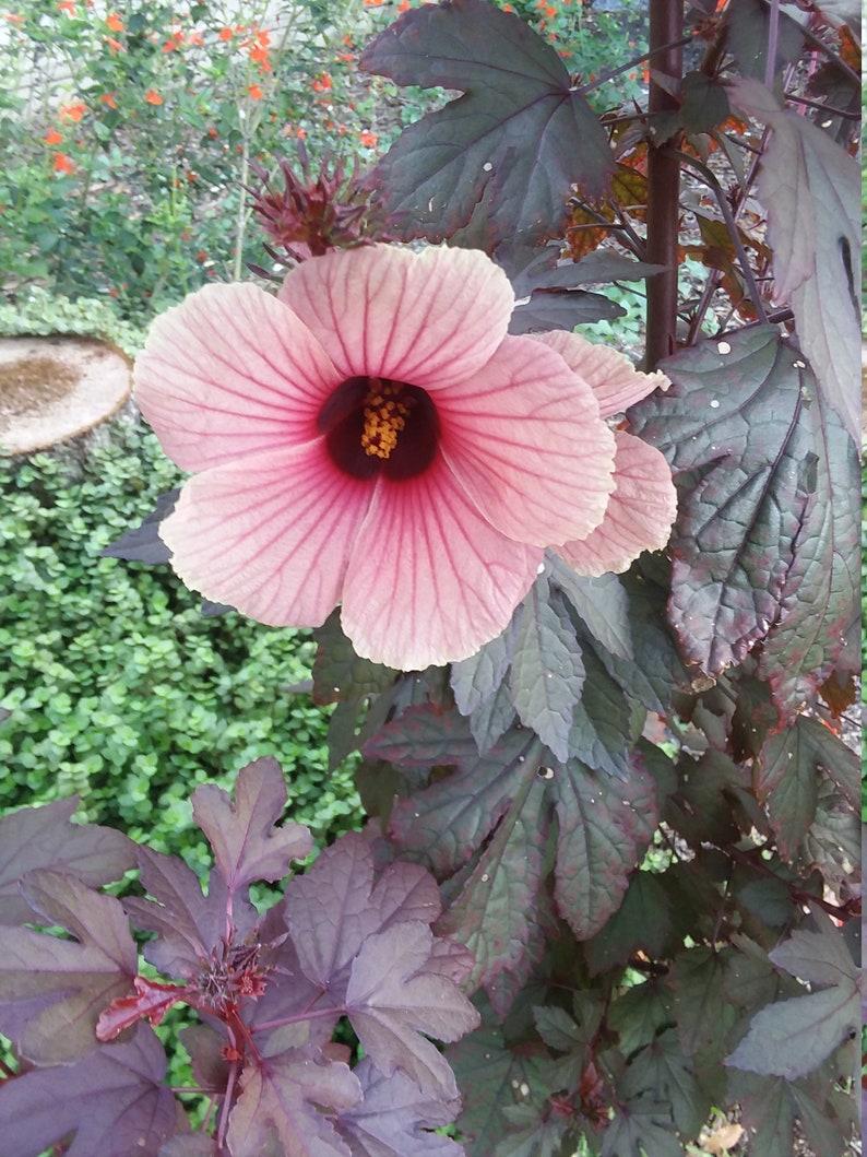 Cranberry Hibiscus Seeds Etsy