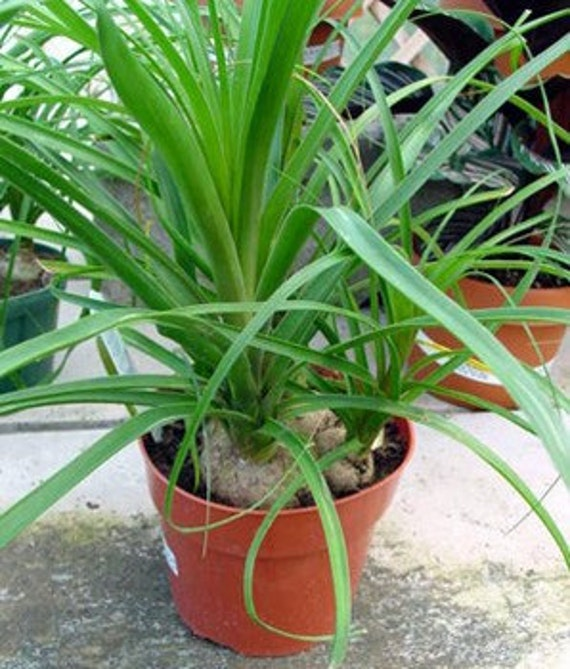 grown in Florida Rare Elephant Foot Ponytail 10 Palm Seeds