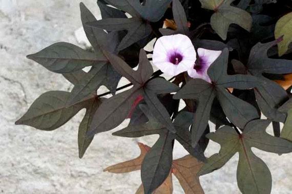 Pale pastel violet white flowers purple black leaves sweet etsy image 0 mightylinksfo