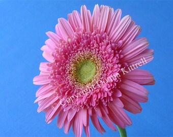Pink Gerbera Daisy 8x10 Fine Art Photograph